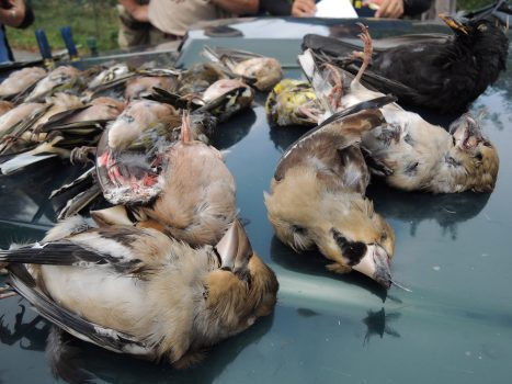 Uccellini cacciati